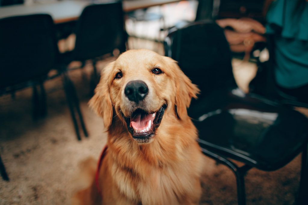 Golden Retriever (best dog breeds)