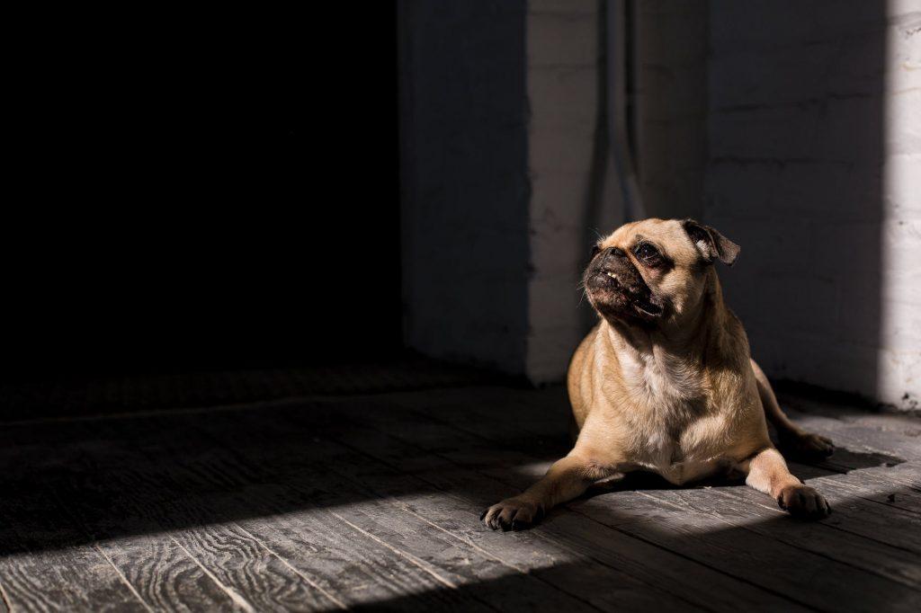 Pug (Best Dog Breeds)