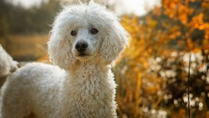 Poodle best family dogs breed