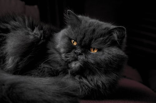 Black is the New Black (Cat Photography Tips)
