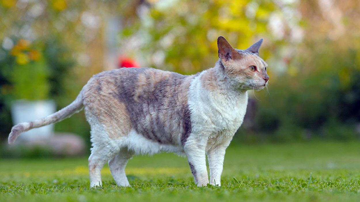 Cornish Rex (Best Cat Breeds)