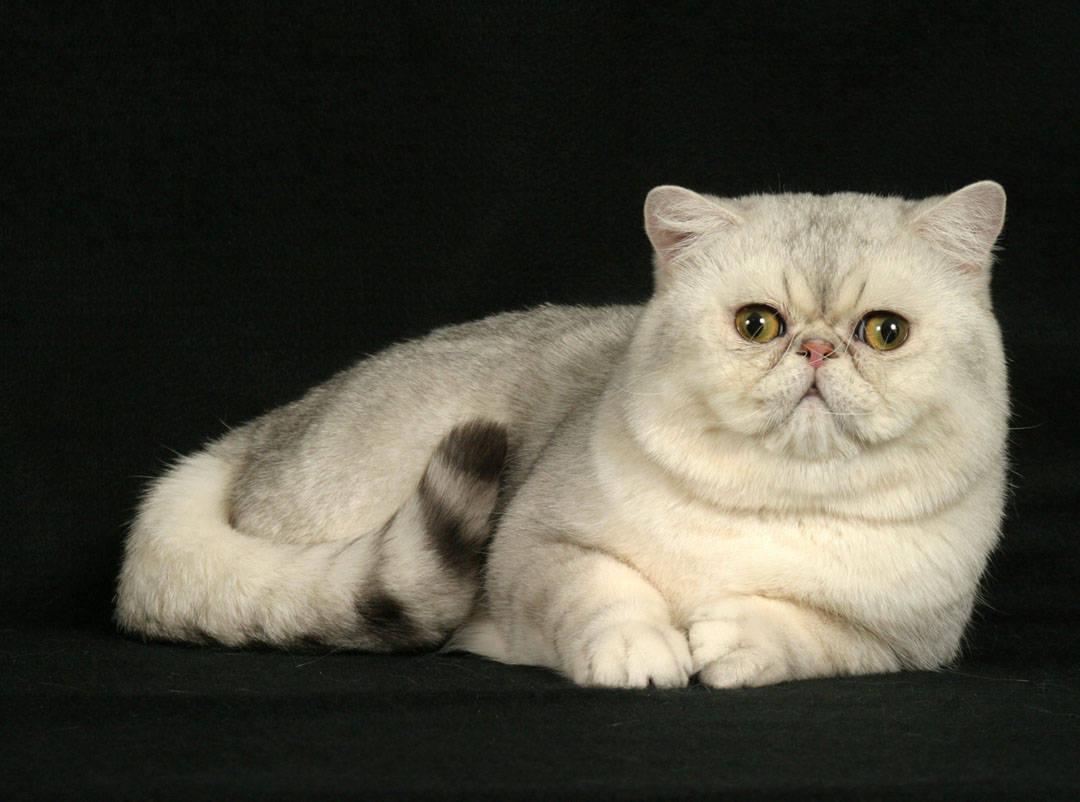 Exotic Shorthair (Best Cat Breeds)