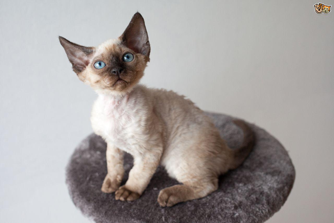 Devon Rex (Best Cat Breeds)