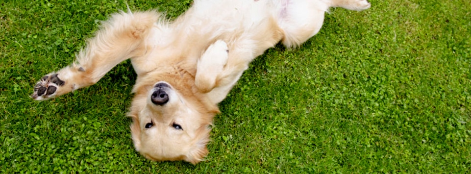 Teach Your Dog to 'Roll Over'