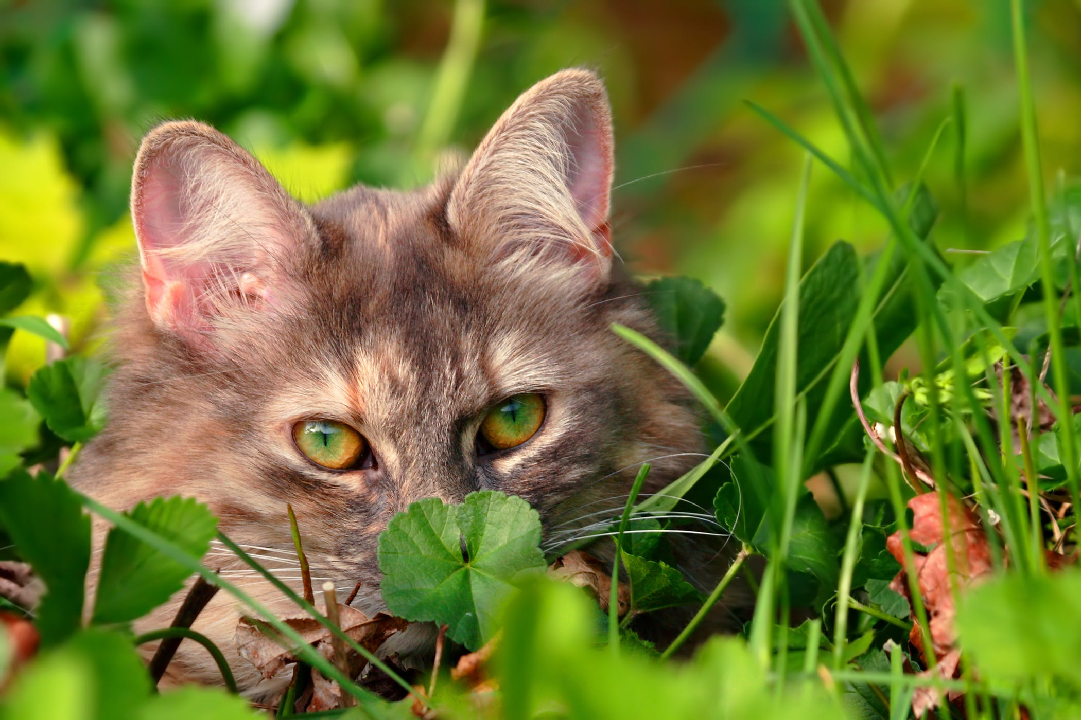 Inhalant Allergies in Cats