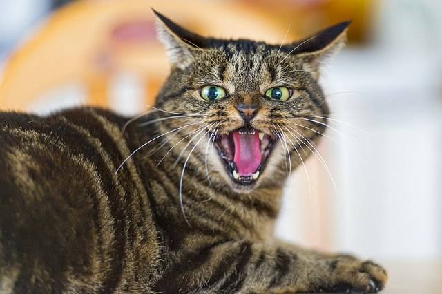 The Enraged Cat