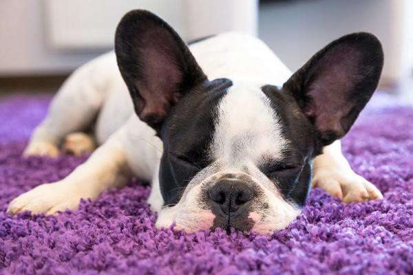 Dog Sleeping on Its Stomach