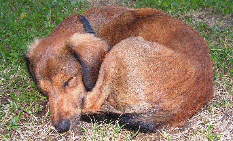 Dog Sleeping Twisting in a Ball