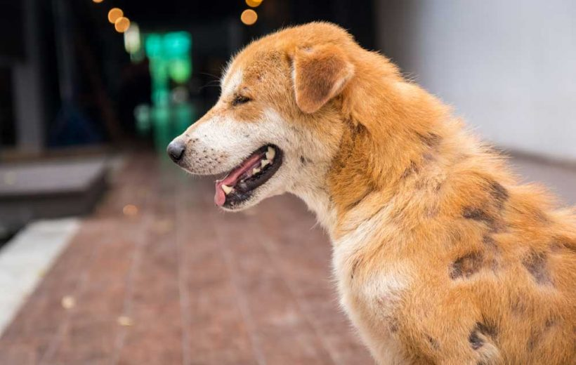Symptoms of Hair Loss In Dogs