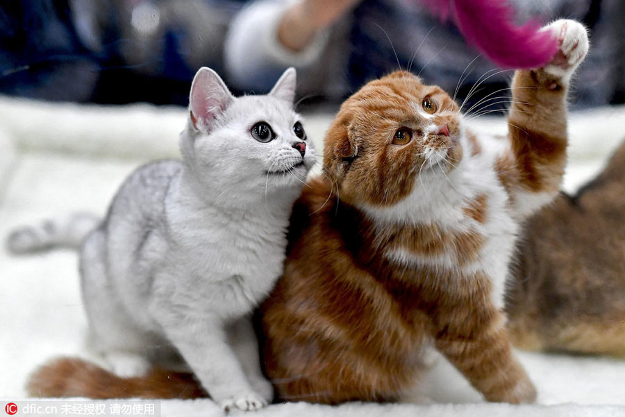 Criteria for judging a cat show (What you need to know about cat shows)