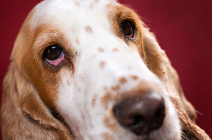 Symptoms of Dry Eye in Dogs(Dry Eyes in Dog: Why Dogs Eyes have gone be Dry??)