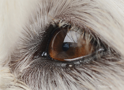 How is KCS diagnosed(Dry Eyes in Dog: Why Dogs Eyes have gone be Dry??)